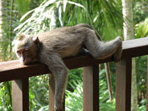 Lazy little monkey Stock Images