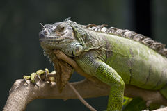Lazy Lizard Royalty Free Stock Photos