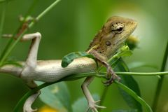 Lazy Lizard Royalty Free Stock Photo