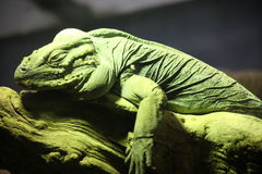 LAZY LIZARD Royalty Free Stock Images
