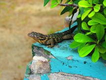 The Lazy Lizard royalty free stock photography