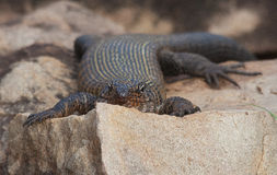 Lazy lizard sunning on a rock Royalty Free Stock Photo