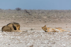 Lazy male and female lion. Seen and shot on self drive safari tour through several natural parks at namibia, africa Royalty Free Stock Photo