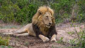 Lazy male lion. Male lion lying down in an open patch of sand Stock Photo