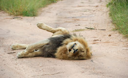Lazy male lion lying in the road. A large male lion taking a siesta in the Greater Kruger National Park, South Africa stock image