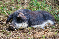 Lazy Mangalica. Beautiful hairy Swallow-bellied Mangalica pig Sus Scrofa, a Hungarian breed of domestic pig with a thick and woolly coat, in the forest in the Stock Images
