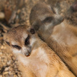 Lazy meerkat Royalty Free Stock Image