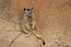 Lazy Meerkat royalty free stock photo