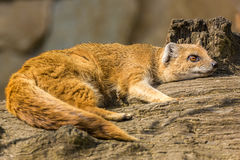 Lazy mongoose lying. Royalty Free Stock Images