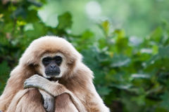 Lazy monkey. Sitting in a tree Stock Photos