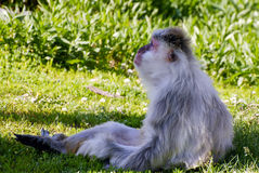 Lazy Monkey. A lazy monkey sitting in a tree shade on a lawn Stock Photography