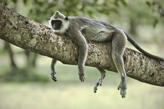 Lazy monkey. Lazy purple faced leaf monkey lying on a tree Stock Photo