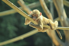 Lazy monkey. Monkey laying in the sun Royalty Free Stock Images