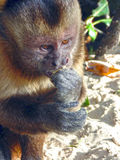 Lazy monkey. Monkey eating banana in a photograph taken on the banks of the Lazy River, which cuts the Maranhenses sheets in Brazil Stock Image