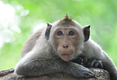 Lazy monkey . Lazy monkey laid down over a stone royalty free stock photo