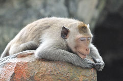 Lazy monkey . Lazy monkey laid down over a stone royalty free stock images