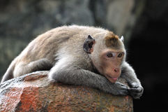 Lazy monkey . Lazy monkey laid down over a stone royalty free stock photos