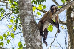 Lazy monkey. Resting on the tree with lots of green leaves in the back Royalty Free Stock Photos