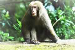 A Lazy Monkey. In Yakushima, Japan Royalty Free Stock Photos
