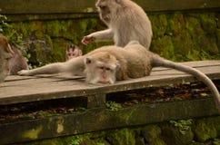 Lazy monkey. S in Ubud, Bali, Indonesia Royalty Free Stock Photo