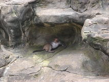 Lazy monkey. A lazy monkey rest on the rock Stock Images
