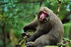 A Lazy Monkey. In Yakushima, Japan Stock Image