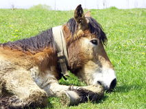 Lazy mule. Lazy old mule laying down on the grass Stock Photography