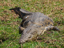 Lazy Nile crocodile Stock Photos