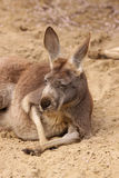 Lazy old kangaroo laying in the sand Stock Photos