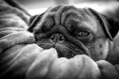 Sleepy pug dog lazing in the nook of it`s owners arm. Really lazy older pug dog taking a nap in the arms of its owner. Snoozing with one eye open Stock Photography