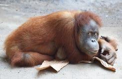 Lazy Orang Utan Royalty Free Stock Photo