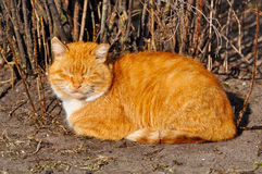 Lazy orange cat Royalty Free Stock Image