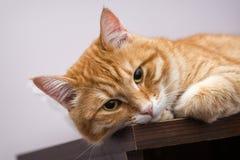 Lazy orange cat Stock Photos