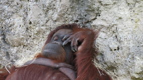 Lazy orangutan in zoo de Beauval Royalty Free Stock Photography