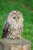 Lazy owl. In wild nature stock photo