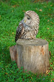 Lazy owl. Sitting on stump Stock Images