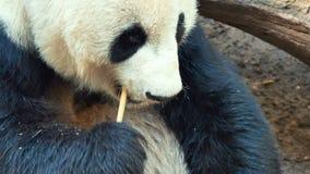 Lazy panda animal stock video footage