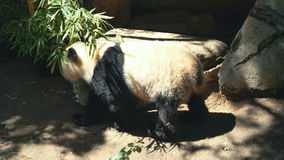 Lazy panda animal stock footage