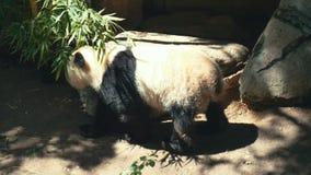 Lazy panda animal stock footage