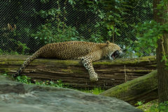 Lazy panther. Photo of a lazy panther Royalty Free Stock Photo