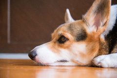 Lazy pembroke welsh corgi lay on the floor waiting for someone to come back home. Sleepy and almost inactive. Focus is on the eye royalty free stock image