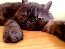 Lazy Persian cat. Lazing around on a surface Royalty Free Stock Images