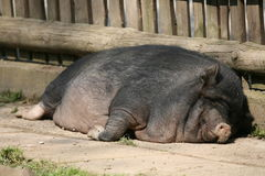 Lazy pig Royalty Free Stock Image