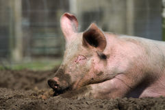 Lazy pig. Half grown biological farm pig with muddy snout lying lazy in the mud Royalty Free Stock Photos