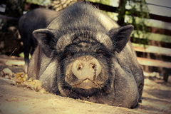 Lazy pig on the ground Royalty Free Stock Photos
