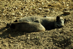 Lazy pig in organic farm Royalty Free Stock Images