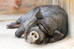 Lazy pig Stock Photos