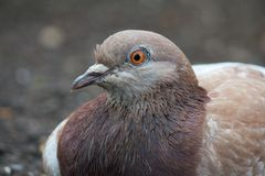 Lazy Pigeon 2. Relaxed common pigeon sitting in the dirt Royalty Free Stock Photo