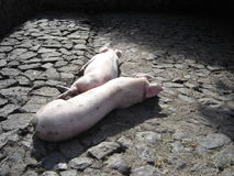 Lazy Pigs. Two pigs laying down in the sun on the stone floor Royalty Free Stock Photography