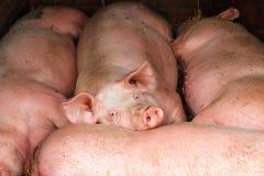 Lazy pigs Royalty Free Stock Photo